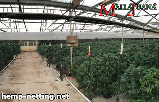 cannabis crops in greenhouse using mallajuana by tutoring to plants