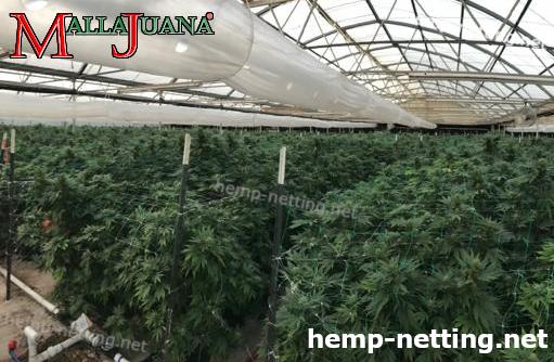 cannabis cropfield in greenhouse using mallajuana net