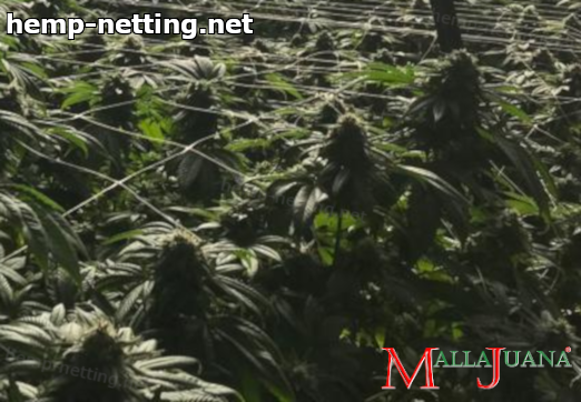 cannabis crops in greenhouse using mallajuana net