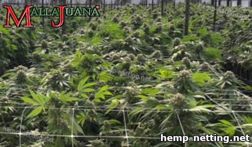 cannabis crop using support method
