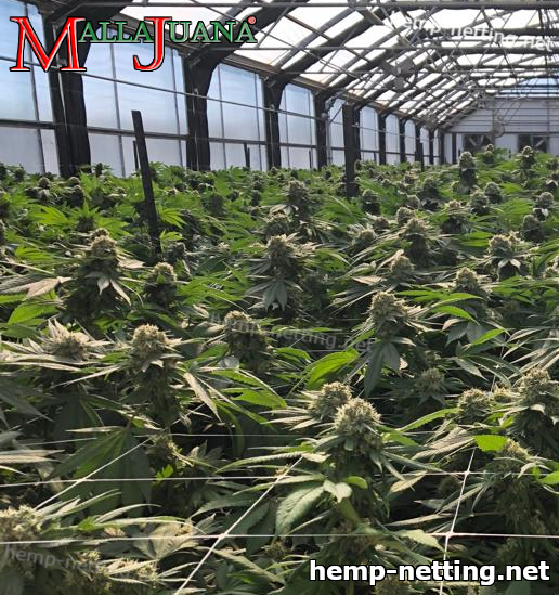 sog method on cannabis crops in greenhouse