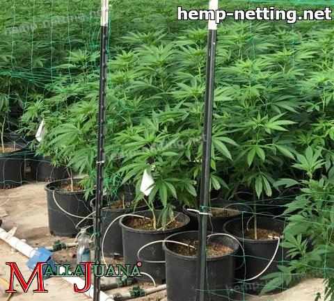 cannabis plants usign hemp net for support