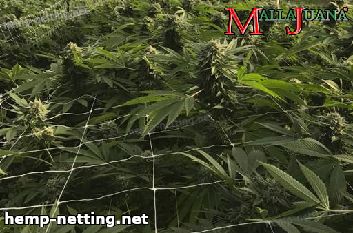 mallajuana used for support on cannabis crops